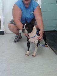 Jackson: Boston Terrier, Dog; New York, NY
