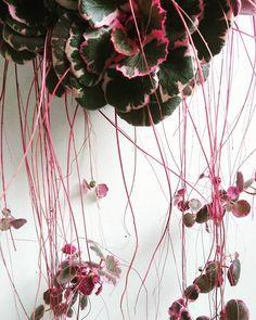saxifraga stolonifera variegata