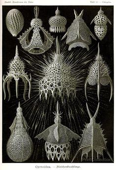 """""""Cyrtoidea"""", fromErnst Haeckel'sKunstformen der Natur """"Art Forms of Nature, 1904."""