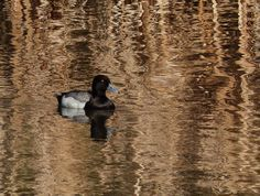 https://flic.kr/p/rW3ty3 | A time to reflect | One week ago, on 7 May 2015, I joined friends to go on a birding walk at the south end LaFarge Meadows, accessed off 194th Ave.  The weather was beautiful, though the temperature was only 7C-11C, and the birds were so far away.  I did manage to get a distant shot of two of the three Trumpeter Swans (both juveniles) that were near the river.  A Bald Eagle flew overhead and a Great Blue Heron flew in the far distance.  A little Savannah Sparrow…