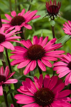 - Great cut flower (shelf life of 4 weeks in vase) - Great contrast dark stem and deep pink flowers breeders rights / Patent EUA/PAF Summer Flowers, Cut Flowers, Pink Flowers, Beautiful Flowers, Garden Shrubs, Garden Plants, Flowers Perennials, Planting Flowers, Floral Photography