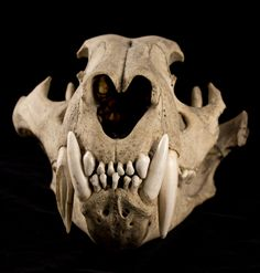 Cat Skull Front Saber tooth ti