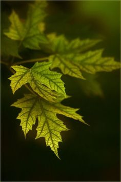 Tree Leaves, Plant Leaves, Maple Leaves, Foto Art, Walk In The Woods, World Of Color, Bokeh, Belle Photo, Shades Of Green