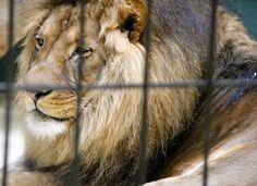 Leopards, lions, hyena, birds, and monkeys are starving and sick after being abandoned at a zoo in Yemen. Even though these animals are close to death, the Yemeni government is reportedly refusing to issue permits to let rescue organizations take them out of the country. Sign this petition to demand that these animals are saved from starvation.