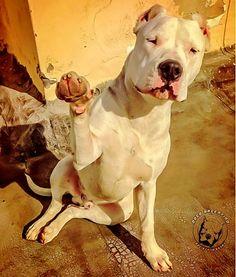 HOLA!!!! #Dogo Argentino
