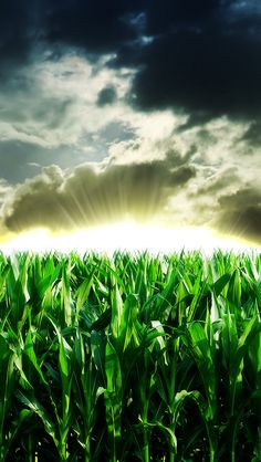 Nature Corn Field Sunshine Through Storm Cloudy Skyscape iPhone se wallpaper Mobile Wallpaper Android, Iphone 5s Wallpaper, Fish Wallpaper, Cellphone Wallpaper, Wallpaper Backgrounds, Colorful Backgrounds, Iphone Wallpapers, Phone Backgrounds, Phone Lockscreen
