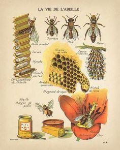 Botanical Drawings, Botanical Prints, Gravure Illustration, Bee Illustration, Illustration Botanique, Bee Art, Save The Bees, Bees Knees, Bee Keeping