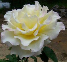 Rosa,  la más hermosa