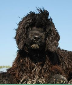 10 Dog Breeds That Love Water | Portuguese Water Dog