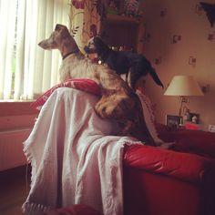 Cody & Leo - Lurcher & Border Terrier