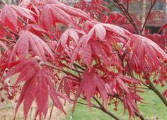 Japanse esdoorn 'Crimson Queen' (Acer palmatum)