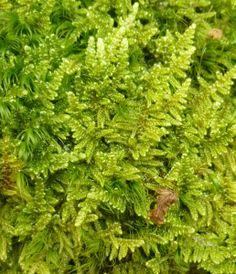 Brocade Moss aka Hypnum Imponens