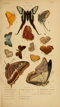 heaveninawildflower:  Plate of Lepidoptera taken from 'Histoire Naturelle des Insectes' Published 1836 by Roret archive.org