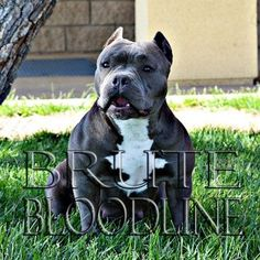Brute Bloodline Pocket Pitbull puppies for sale at WWW.BRUTEDYNASTYKENNEL.COM We have Tri color, blue and fawn pocket bully pitbull puppies available