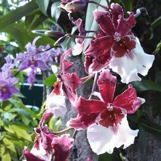 Orchid Show - NY Botanical Gardens