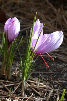 12732791425873 16 Best Saffron crocus images