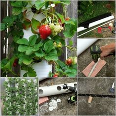 A PVC strawberry tower is an innovative way to grow lots of strawberry plants on a small plot of ground. Making this planter may need some work on it, you'd… Aquaponics Diy, Aquaponics System, Hydroponics, Verticle Garden, Vertical Planter, Strawberry Tower, Strawberry Planters, Diy Gardening, Vegetable Garden Tips