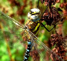 Southern Hawker Male 6 by iriscup.deviantart.com on @DeviantArt