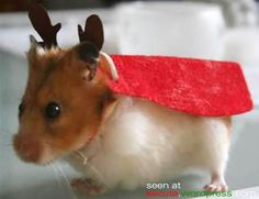 Reindeer hamster. OK, yes, I'm sick - but I'm thinking of our guinea pigs and a Christmas card.