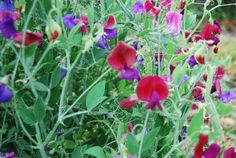 @@@PLANT NOW@@@@20 Sweetpea Seeds