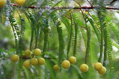 Amla Tree Fruits and Leaves - has a long famous history especially in Unani Medicine and Ayurveda. It is a powerful antioxidant agent and also boosts imunity. It is the best herb ever for day-to-day consuption. More info at http://drstevia.blogspot.com/2014/09/kebaikan-pokok-amla-kepada-kesihatan.html
