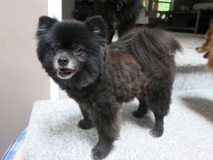 Image result for black and tan pom lion cut