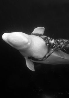 Freediving with a Beluga whale in Russia's Arctic.