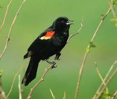 Red Winged Blackbird  is one of the most abundant birds in the country. , Boldly colored, and a familiar sight atop cattails, & along soggy roadsides, Glossy-black males have scarlet-and-yellow shoulder patches they can puff up or hide depending on how confident they feel. Females are streaky brown, almost like a large, dark sparrow. Occasionally show up at our feeders ..bb..
