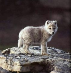 Wolf cub                                                                                                                                                                                 More