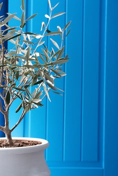 Blue door and olive tree, Santorini, Greece