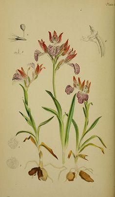 File:Anacamptis papilionacea (as syn. Orchis papilionacea) - Moggridge - Flora of Mentone pl. 96 (1871).jpg