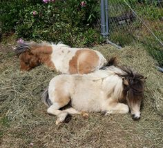 #LittleHoovesFoalingShow | Calamity Jane and Partly Sunny loving the sun and a pile of hay
