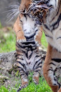SF Zoo's new tiger cub via Cute Overload:.... #Relax more with healing sounds: