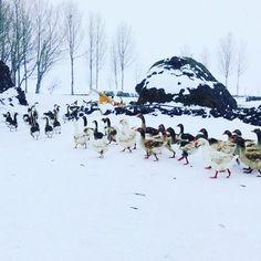 Kazlar...Kazlar...  #mountains #kazlar #goose #nature #naturephotography #geese #country #countrylife