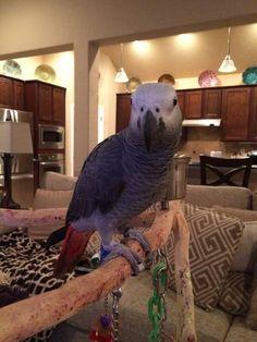 LOST AFRICAN GREY: 07/28/2017 - San Antonio, Texas, TX, United States. Ref#: L34310 - #CritterAlert #LostPet #LostBird #LostParrot #MissingBird #MissingParrot #LostAfricanGrey #MissingAfricanGrey