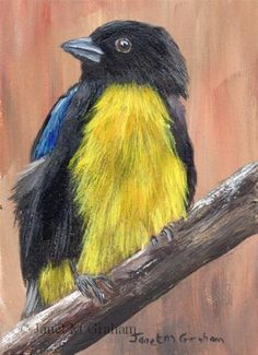 "Daily Paintworks - ""Black and Gold Tanager ACEO"" - Original Fine Art for Sale - © Janet Graham"