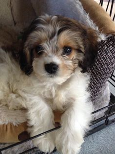 My new puppy Ruby the Cavapoo!