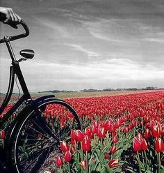 a beautiful road of tulips ..
