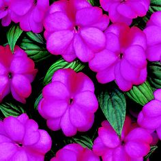 New Guinea Impatiens - Infinity Blushing Lilac - Shade to part shade