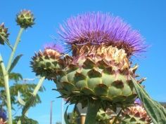 Artichoke Thistle Info: Learn About Growing Cardoon Plants