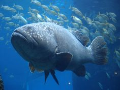 Today I want to write about a massive fish that even eats sharks, the giant grouper. Here are five interesting facts about them: Also known as the Queensland grouper, they are the largest re...
