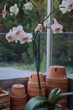 The Orchid Column: Phalaenopsis:  Where do I cut my Phalaenopsis after it blooms?