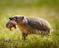 "EUROPEAN HEDGEHOG.....found in Europe in woodland, farmland, and suburban areas....measures 9 - 10.5 inches long and weighs 2 - 2.25 pounds....excellent senses of hearing and smell....can swim and climb well....when threatened rolls itself into a ball....hibernate throughout the winter....snuffle around noisily in the undergrowth looking for food, hence the name ""hog"""