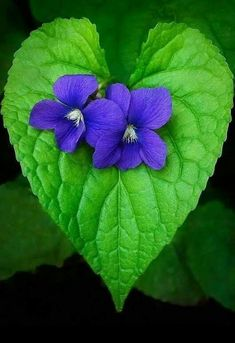 Good Cost-Free Violet flores Tips Because of their wonderfully processed wooly foliage, their particular stream-lined construction alo Heart In Nature, Heart Art, I Love Heart, Happy Heart, Purple Flowers, Wild Flowers, Sweet Violets, Heart Images, Lily Of The Valley