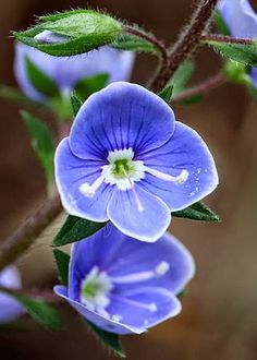 Pretty blue flowers ~ Dreamy Nature