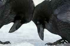 Black birds #crows #Ravens