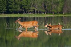 Share  Favorite  Whitetail Deer and Twin Fawns by Daniel Cadieux