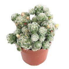 Mammillaria gracilis v. fragilis (thimble cactus)
