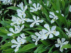 Iris cristata 'Tennessee White' (Dwarf Crested Iris)