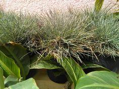 Festuca Glauca Herbs, Plants, Food, Deco, Essen, Herb, Meals, Plant, Yemek
